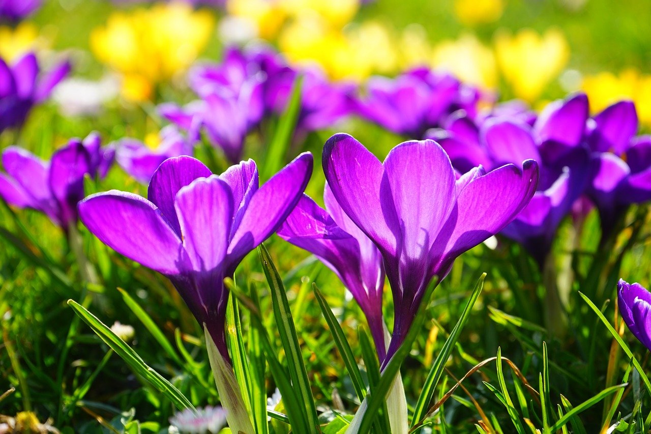 Das Bild zeigt lila Krokusse