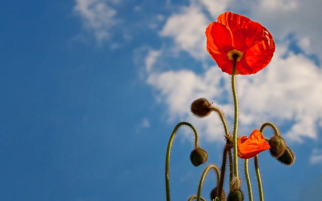 Das Foto zeigt eine rote Mohnblume